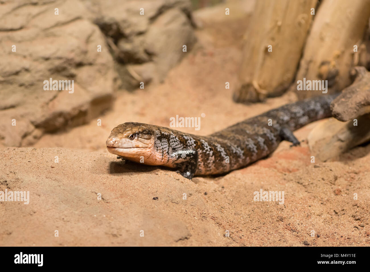 A blue tongued australian lizard in a zoo - Stock Image