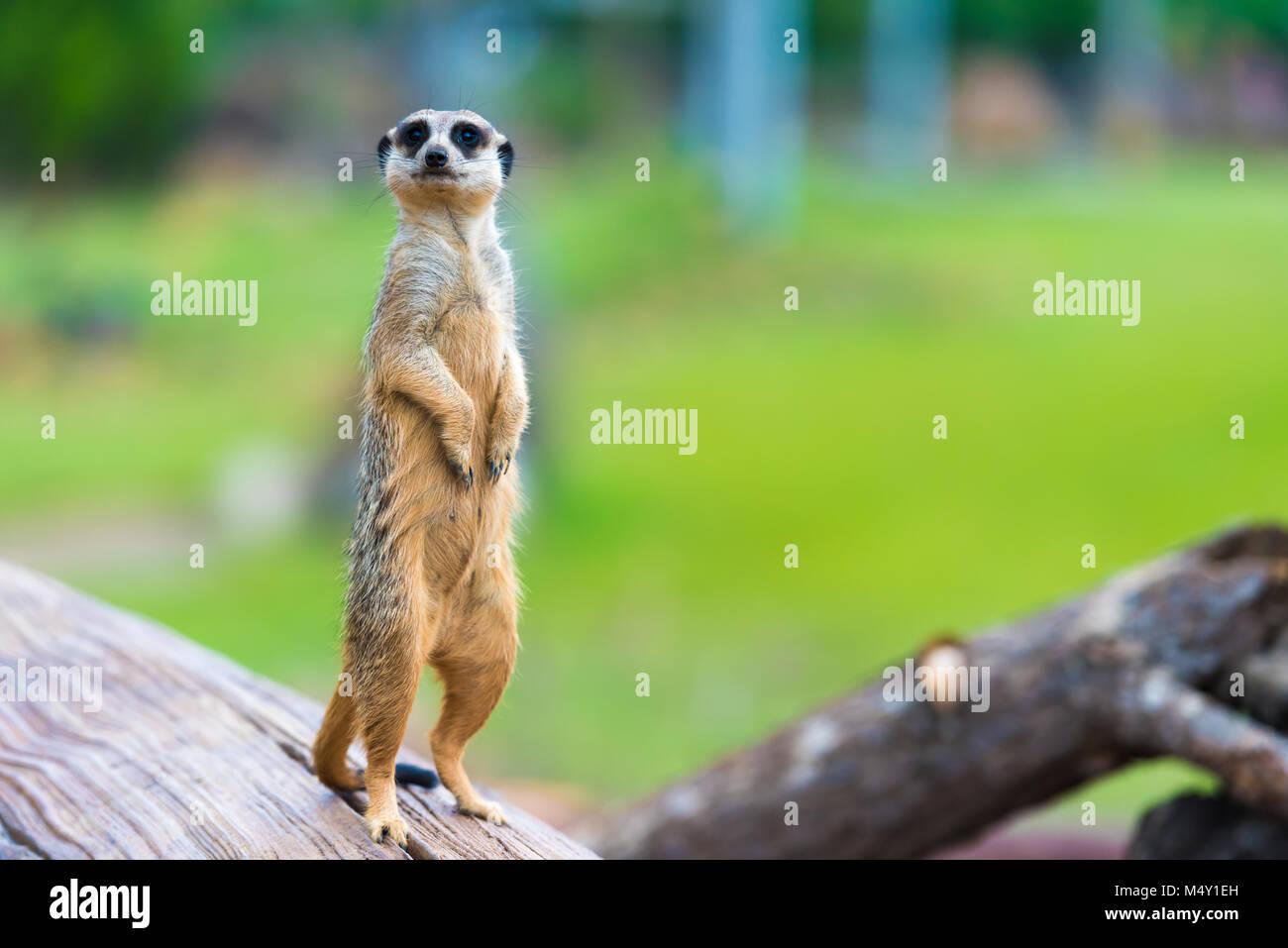Portrait of Meerkat Suricata suricatta, African native animal, small carnivore belonging to the mongoose family - Stock Image