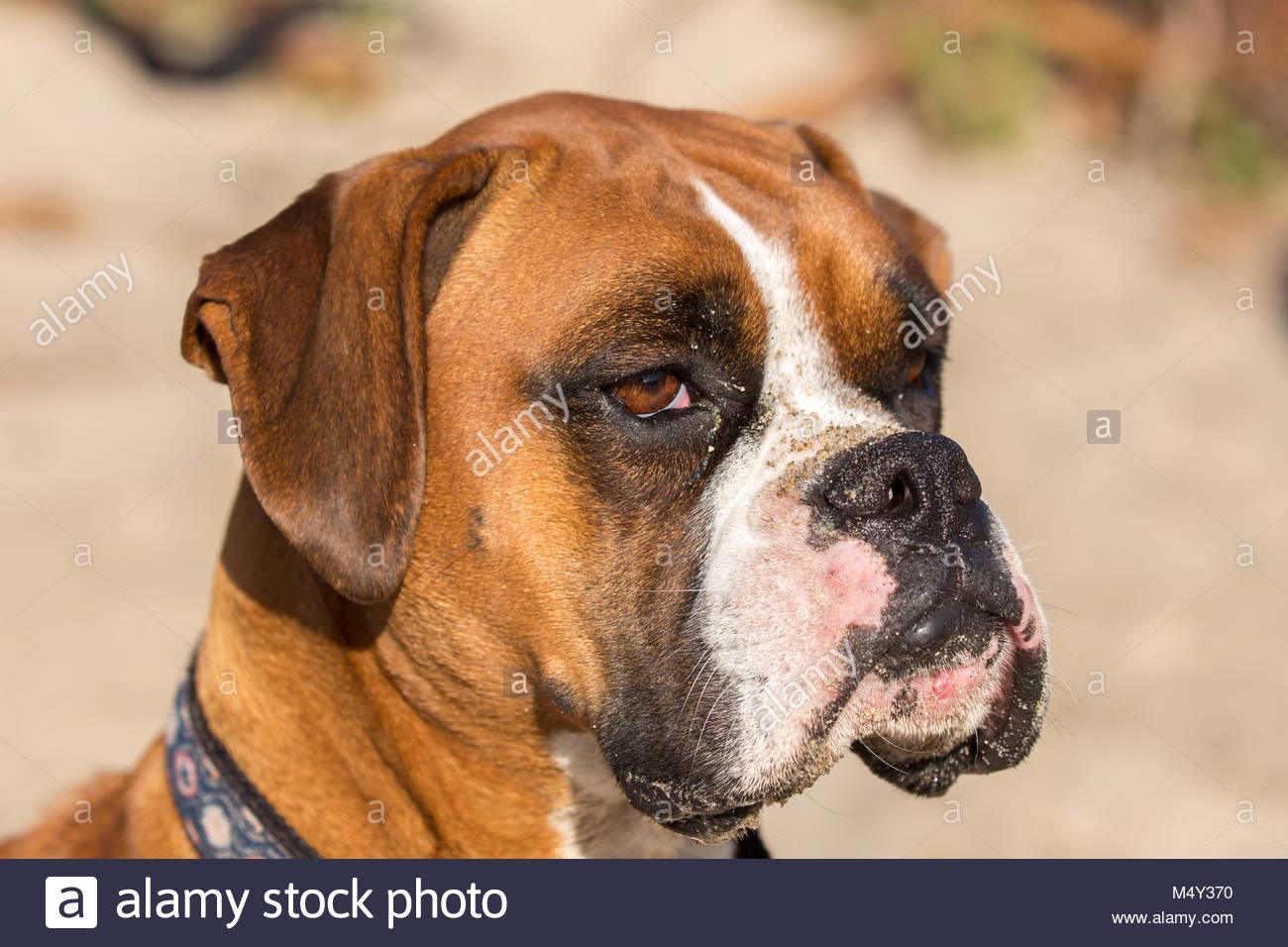 Fawn Brindle German Boxer Headshot - Stock Image