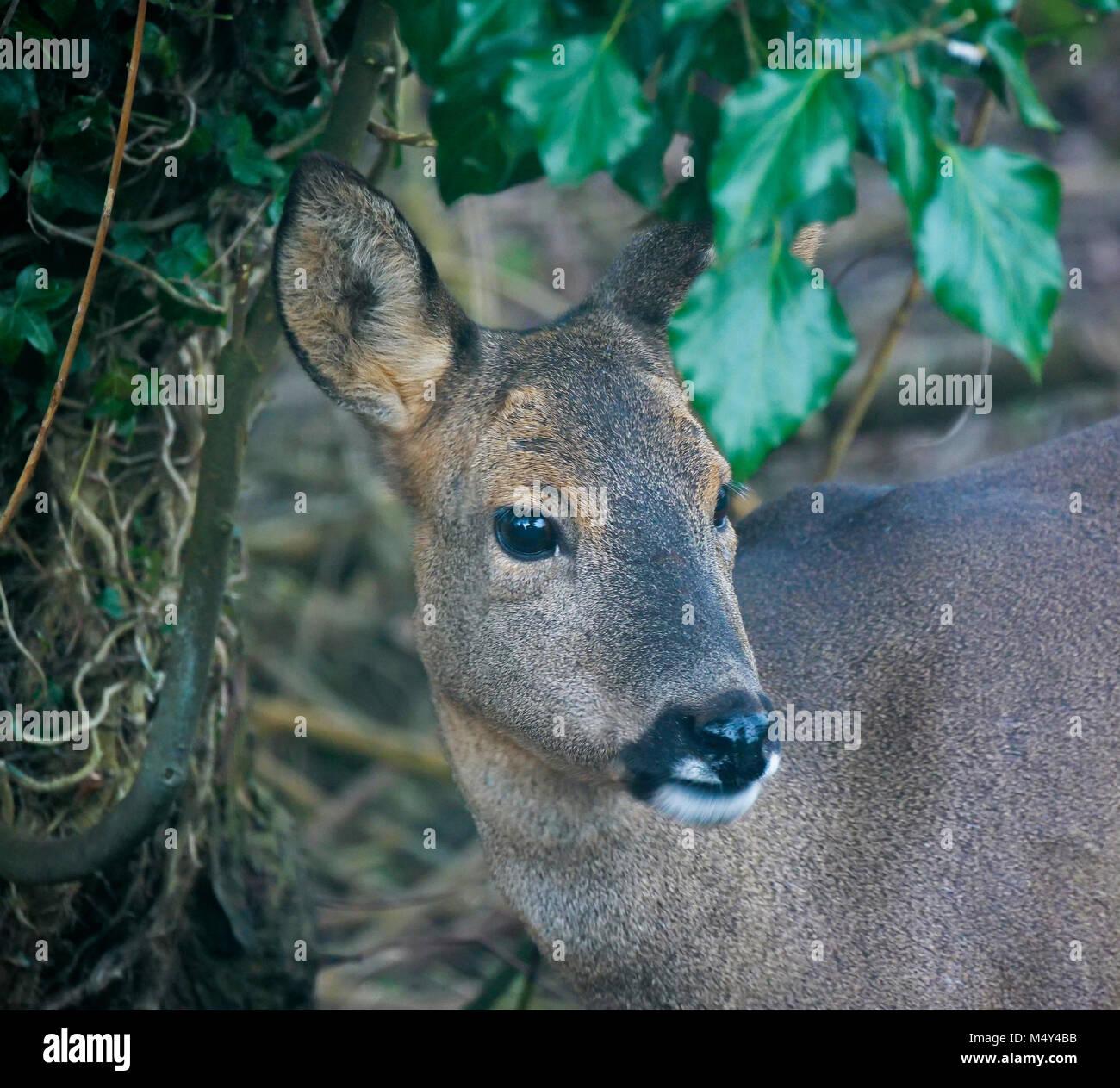 Portrait of Roe Deer Capreolus capreolus Stock Photo