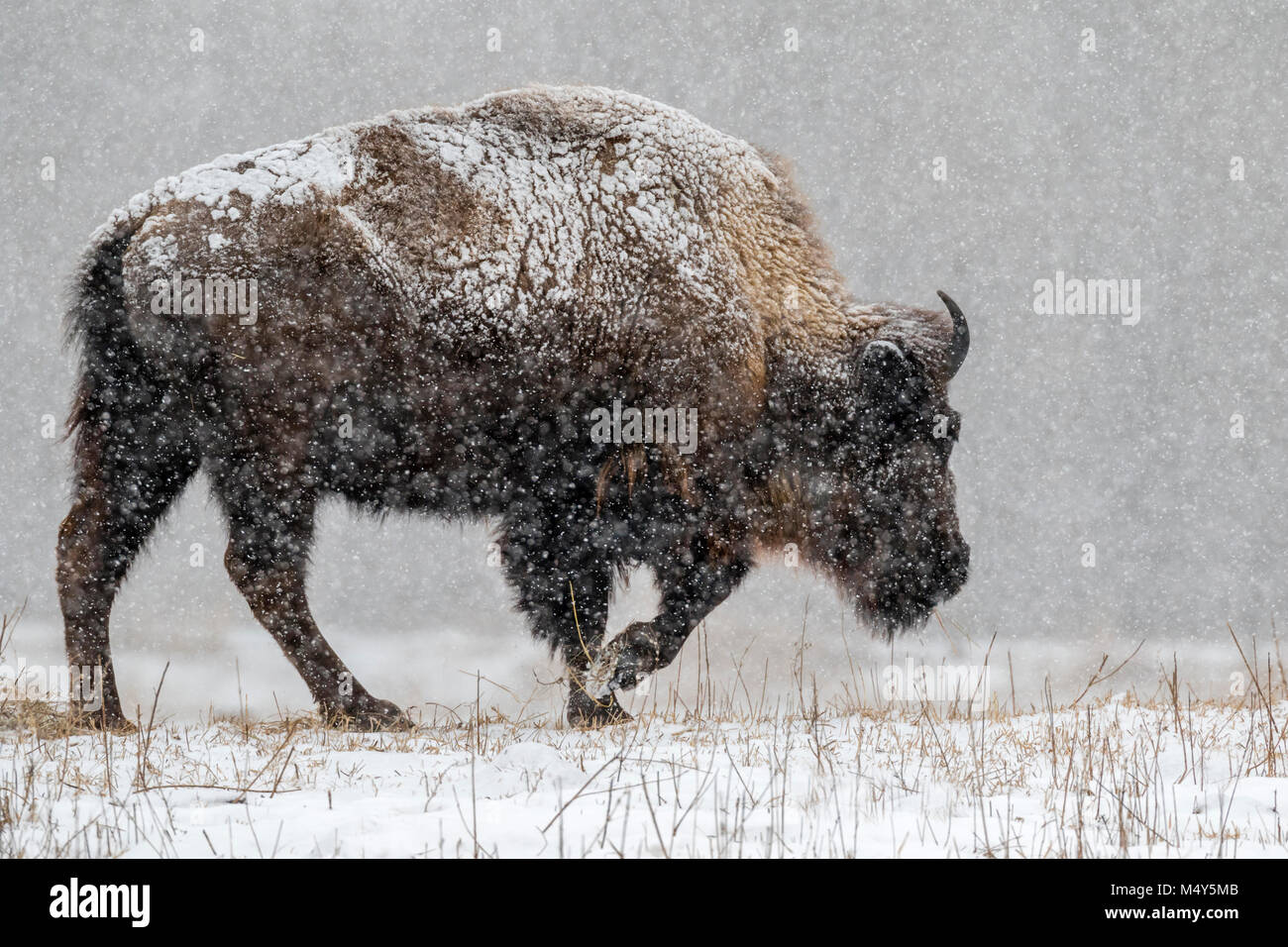 Male American bison (Bison bison) in prairie walking through a heavy snowstorm, Neal Smith National Wildlife Refuge, Stock Photo