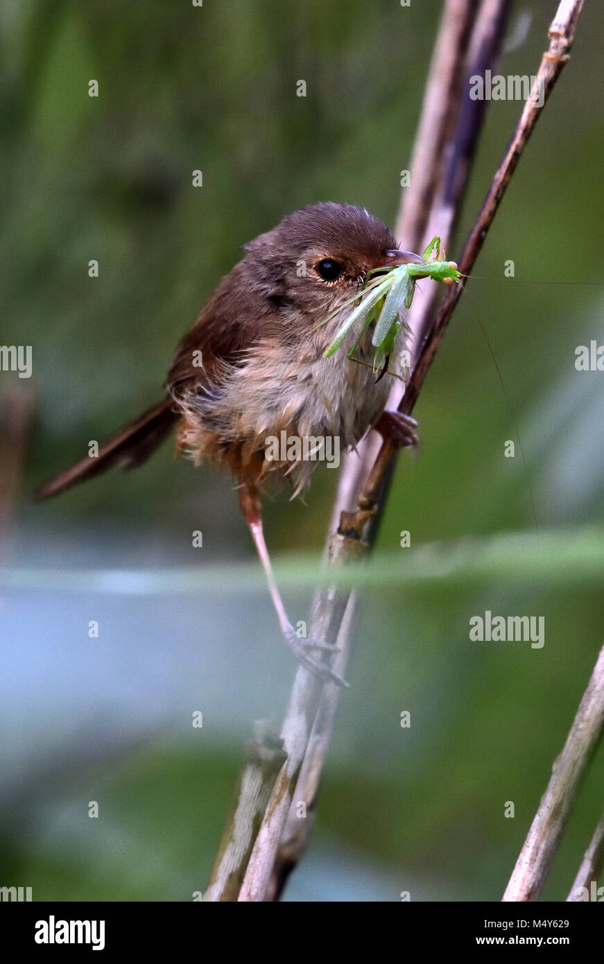 An Australian Female Red-backed Fairy-wren with an Insect in its mouth - Stock Image