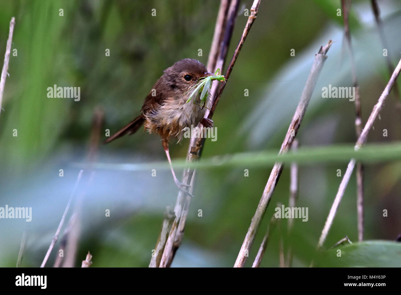 An Australian Female Red-backed Fairy-wren with an Insect in its mouth Stock Photo