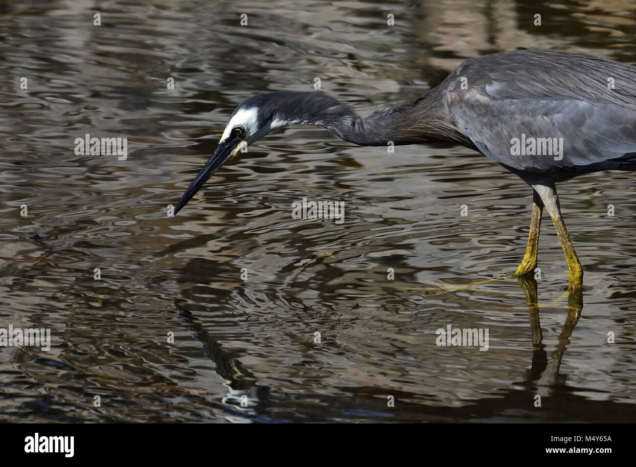 An Australian White-faced Heron looking for food in a Lagoon - Stock Image