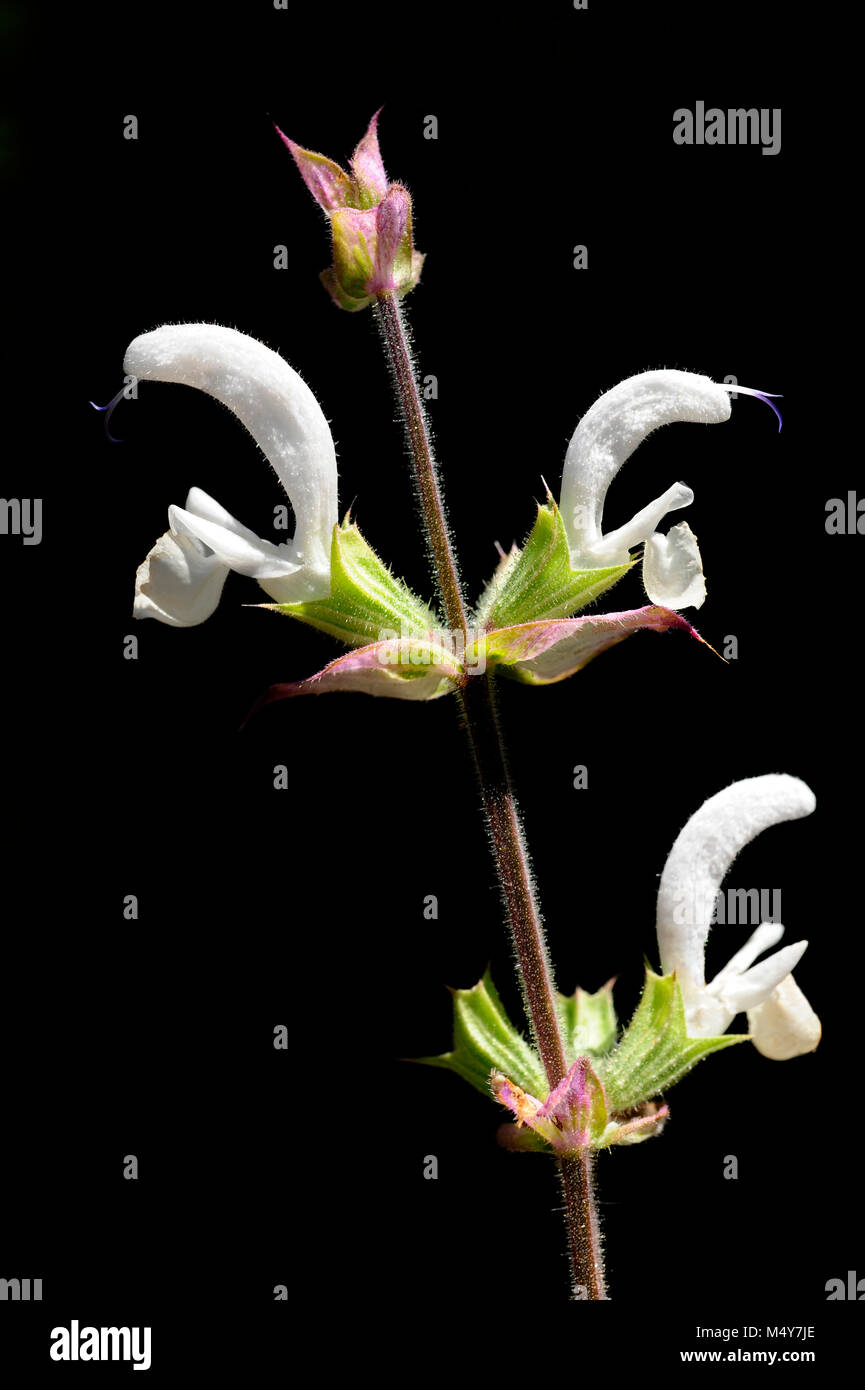 Clary sage is an herb. The flowers and leaves are used for upset stomach and other digestive disorders, and to remove Stock Photo