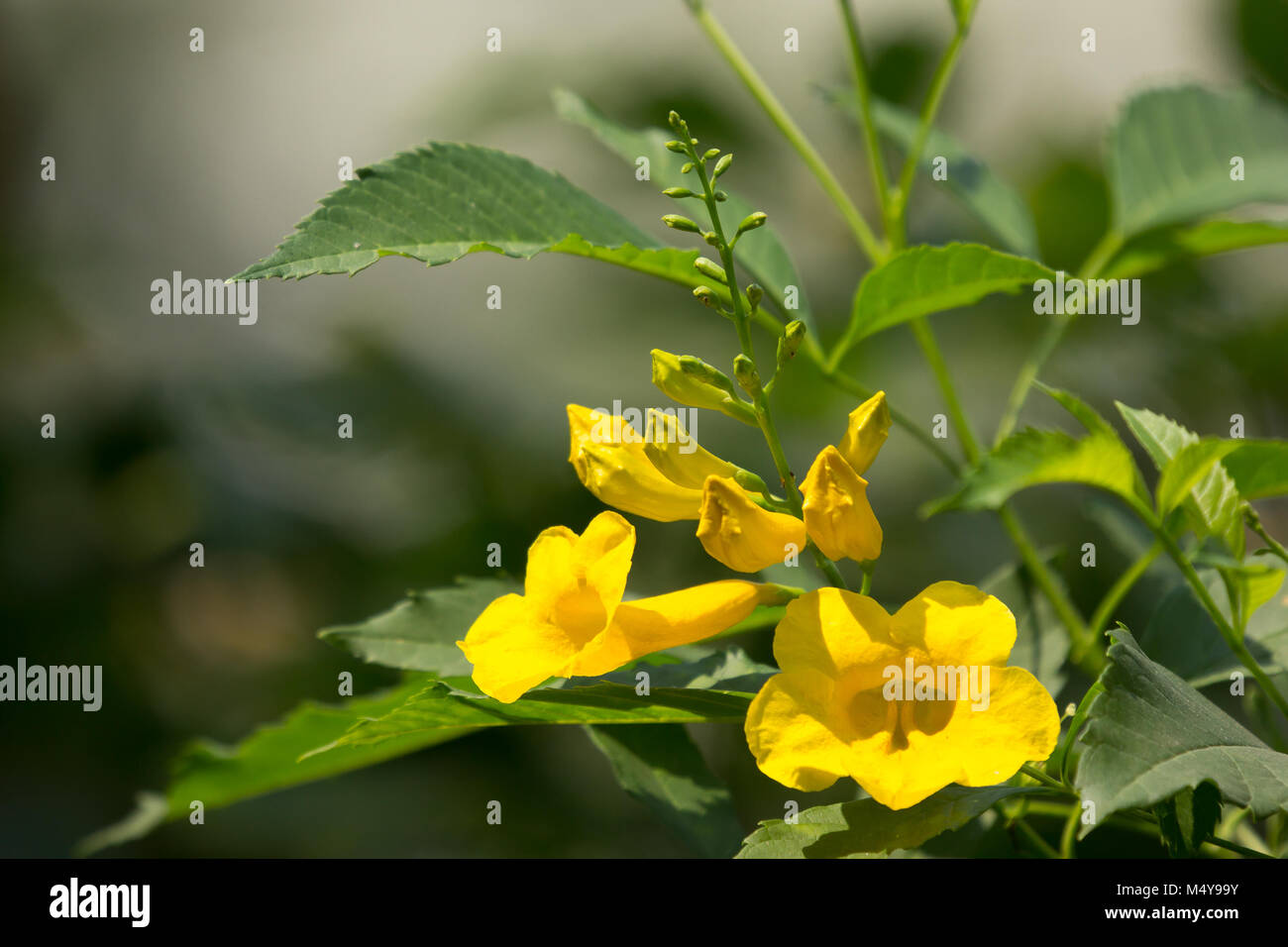 Yellow Trumpetbush Yellow Bells Yellow Stock Photos Yellow