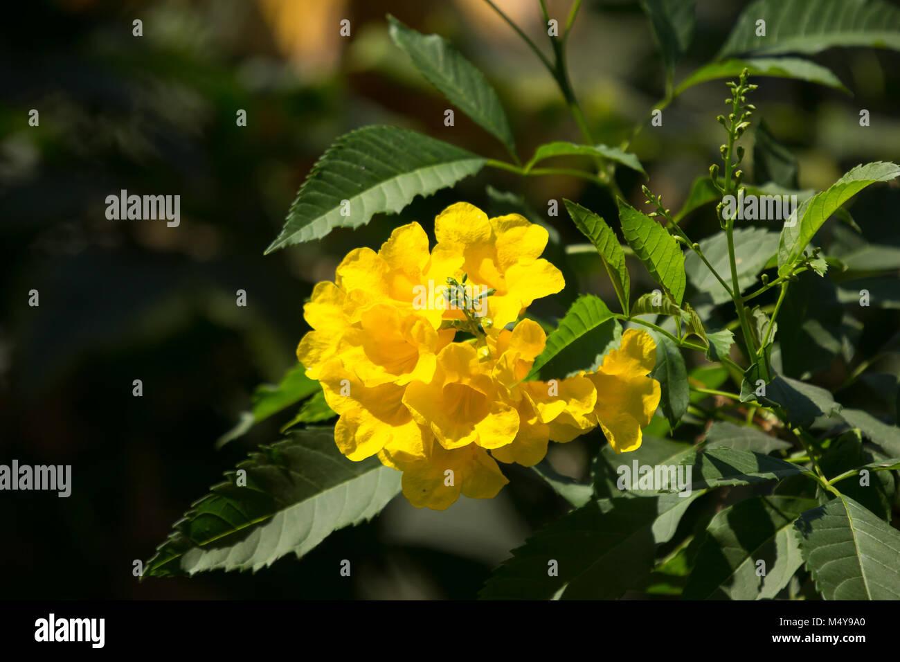 Close up of yellow flower yellow elder yellow bells or stock close up of yellow flower yellow elder yellow bells or trumpetflower scientific name istecoma stans mightylinksfo