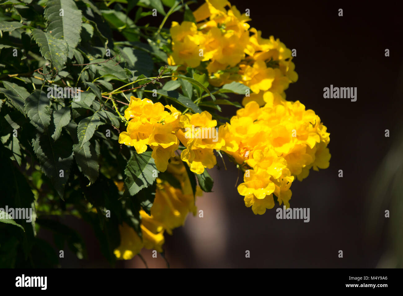 Tecoma Stans Stock Photos Tecoma Stans Stock Images Page 2 Alamy
