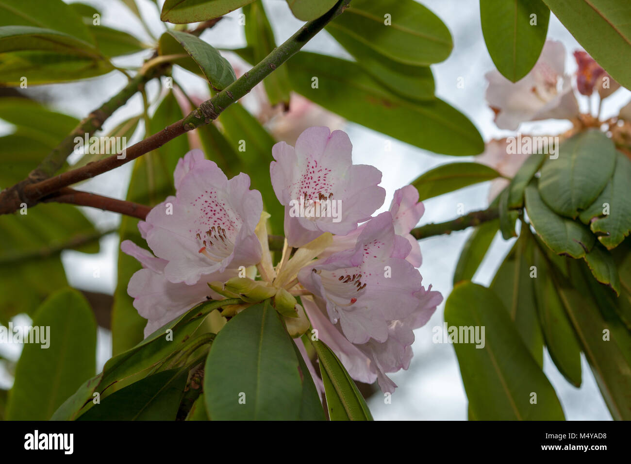 Rhododendron species, Rosettrododendron (Rhododendron hunnewellianum) - Stock Image