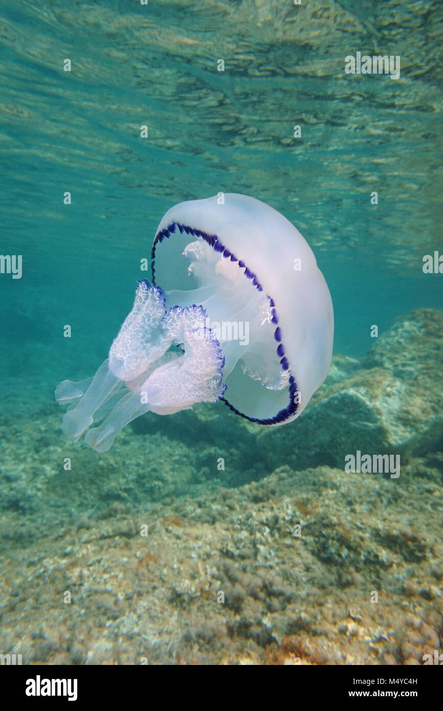 A barrel jellyfish Rhizostoma pulmo underwater between the surface and rocks in the Mediterranean sea, Catalonia, - Stock Image