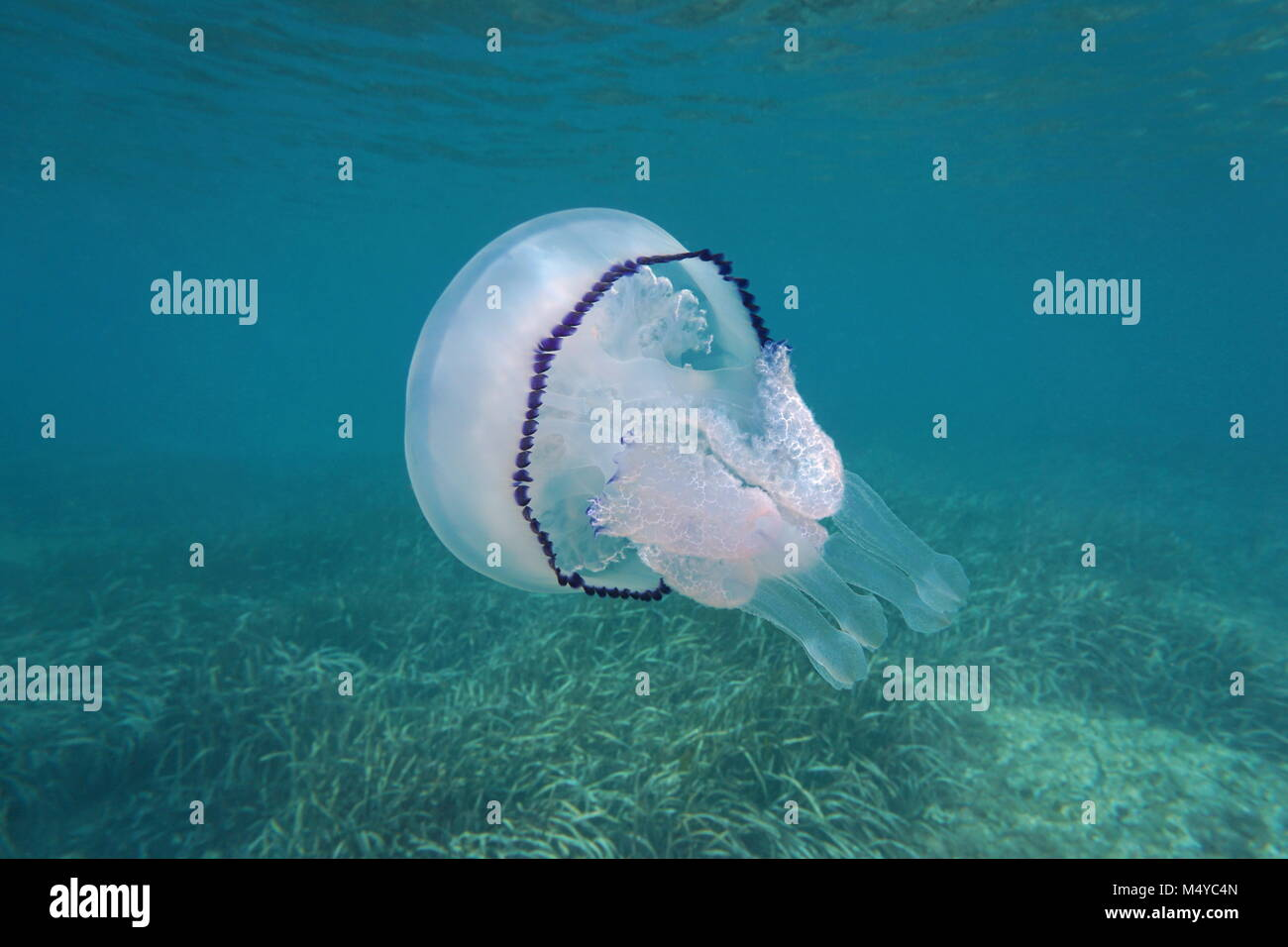 A barrel jellyfish Rhizostoma pulmo underwater in the Mediterranean sea, Cote d'Azur, France - Stock Image