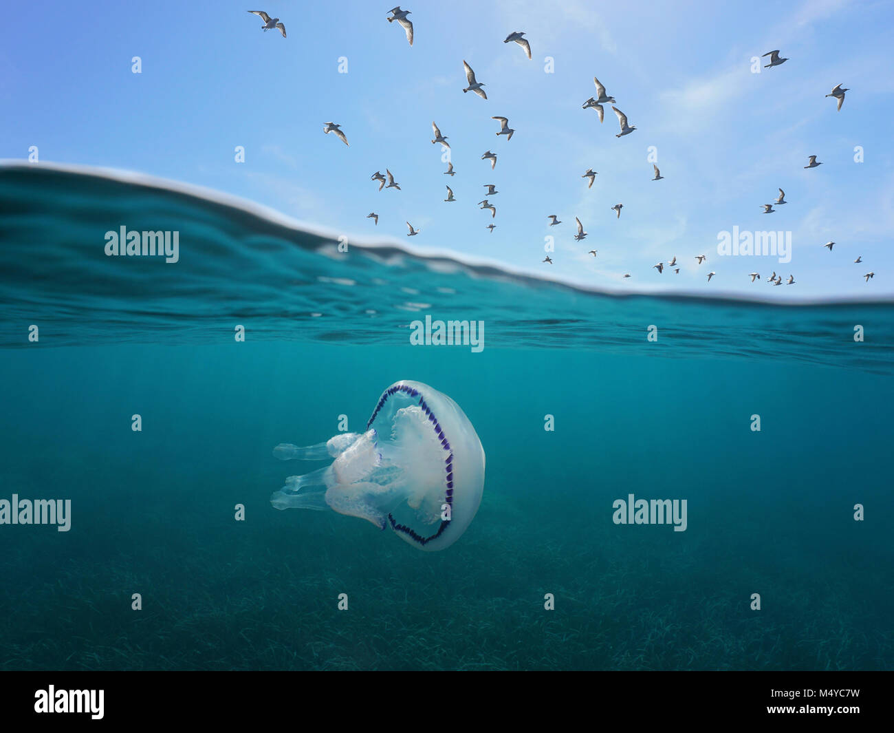 Mediterranean gulls flying in the sky with a barrel jellyfish underwater, split view above and below water surface, - Stock Image
