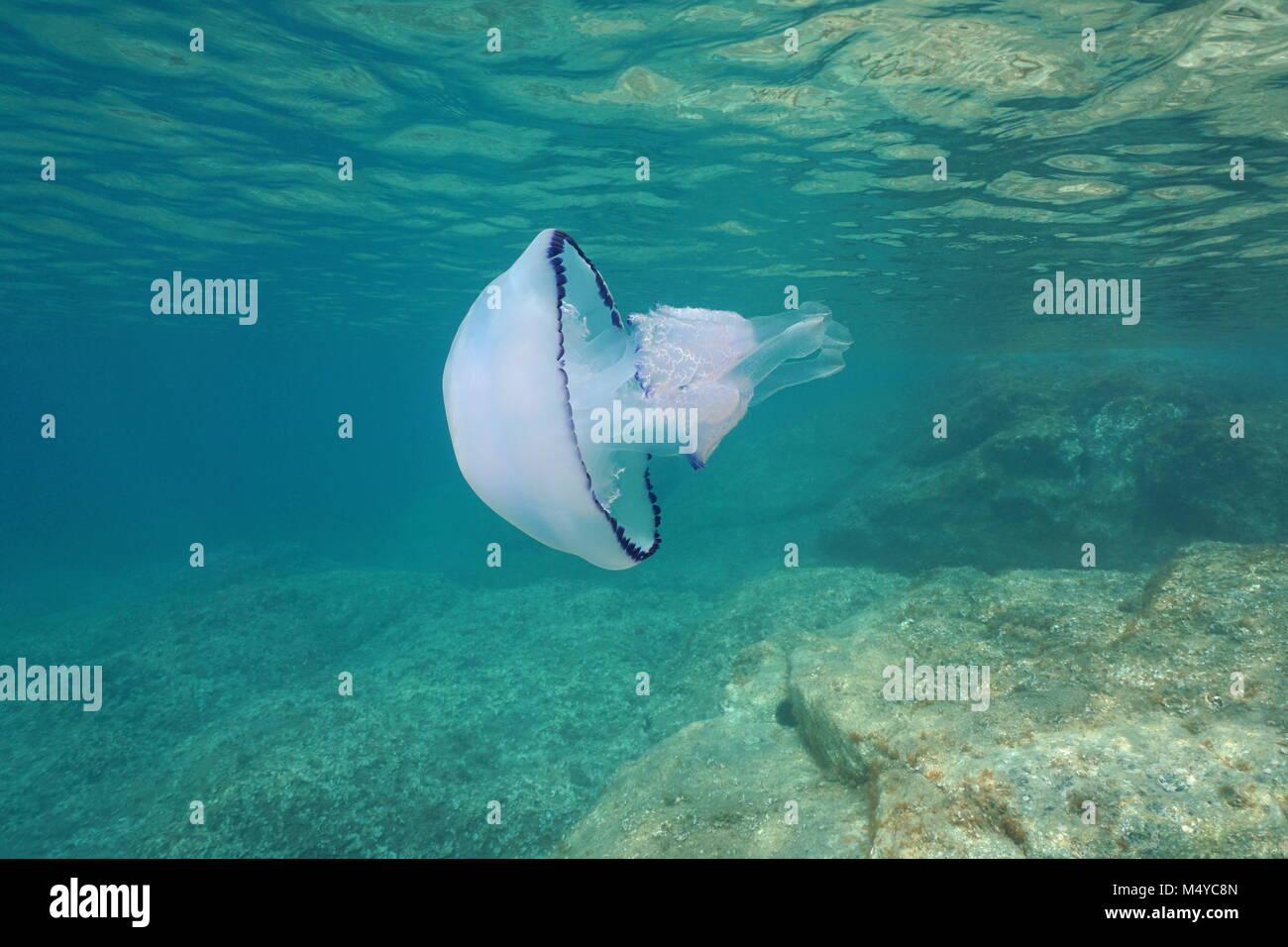 Underwater a barrel jellyfish, Rhizostoma pulmo, in the Mediterranean sea, Catalonia, Costa Brava, Cap de Creus, - Stock Image