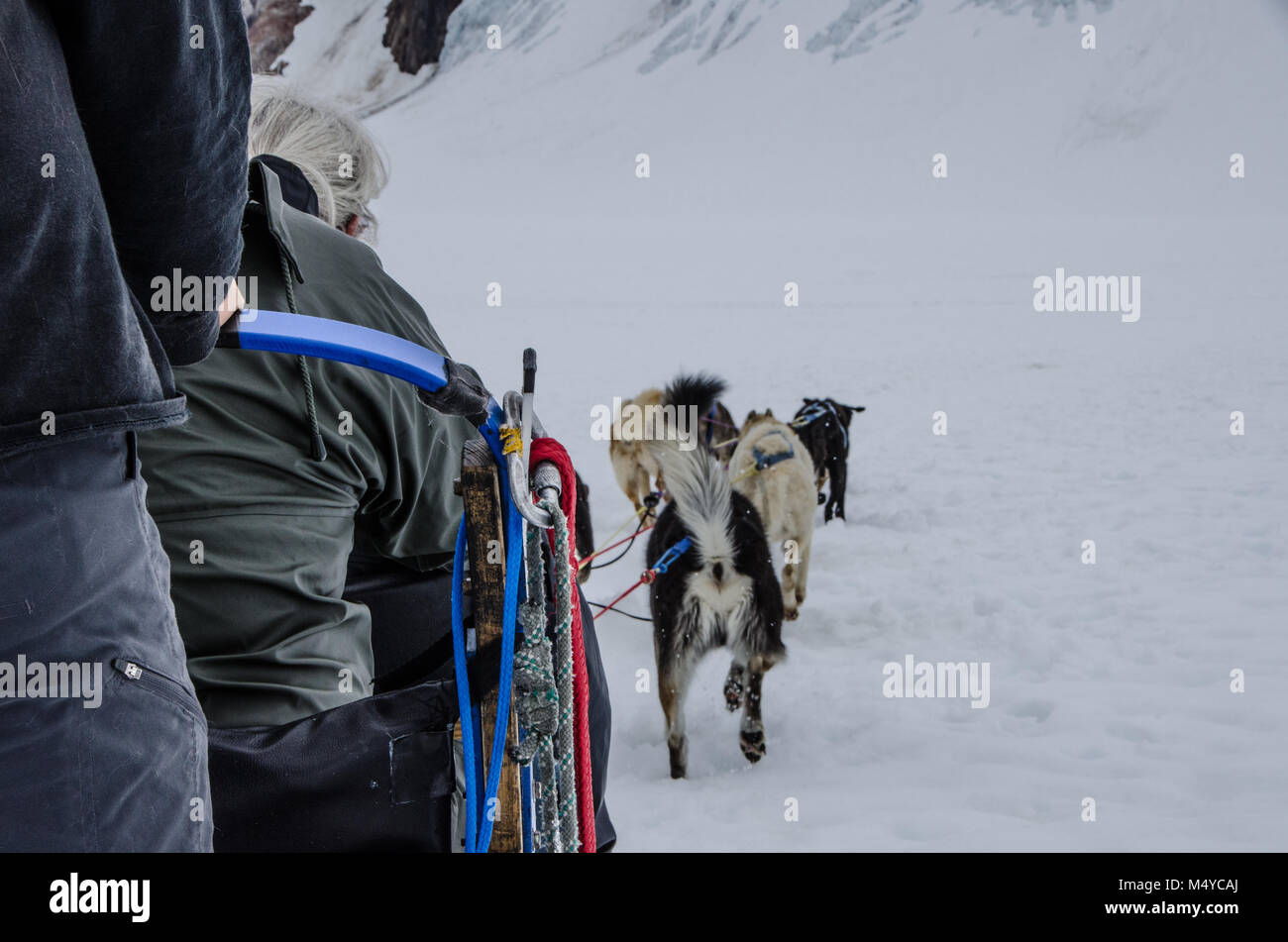 Female retiree experiences the fun and excitement of dog sledding. Tourist rides on dog sled with musher in winter - Stock Image