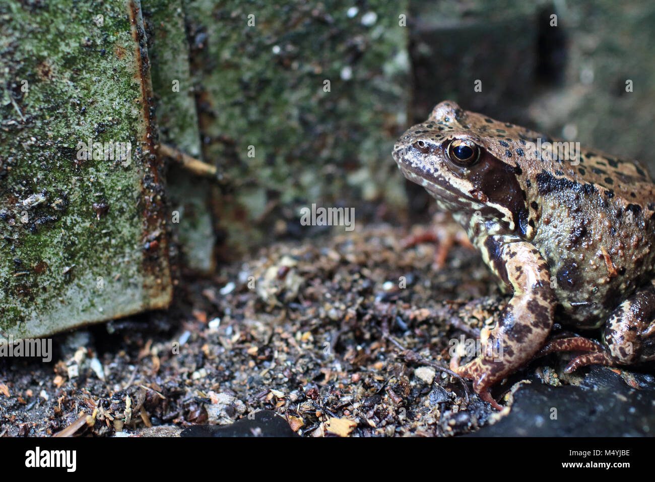 inconspicuous motley spotted frog in the wild - Stock Image