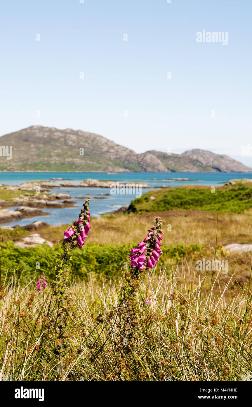 View of South Glendale hills across the grasslands and with foxglove flowers on the Isle of South Uist, Outer Hebrides, - Stock Image