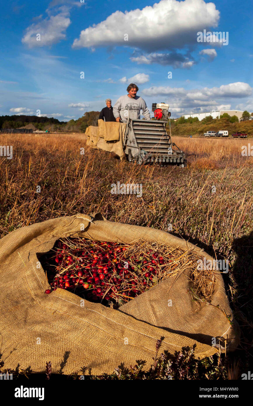 Cranberry growers use dry pickers to dry pick cranberries. The berries are put into burlap sacks and then dumped - Stock Image