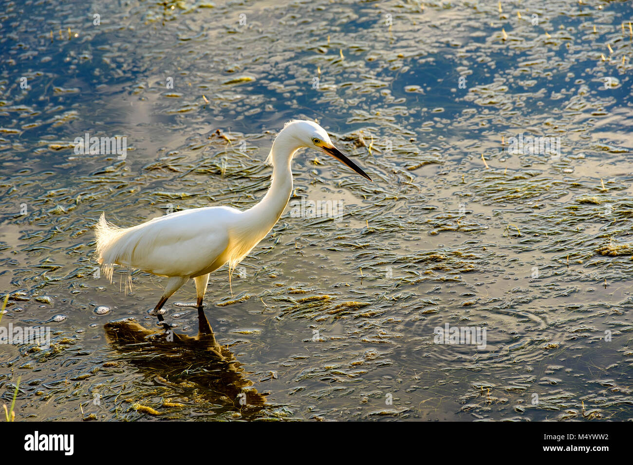 Young white heron walking through the waters and vegetation of a lake at afternoon - Stock Image
