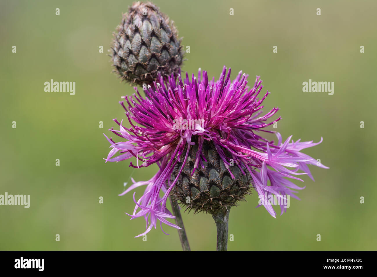 Thistle - Stock Image
