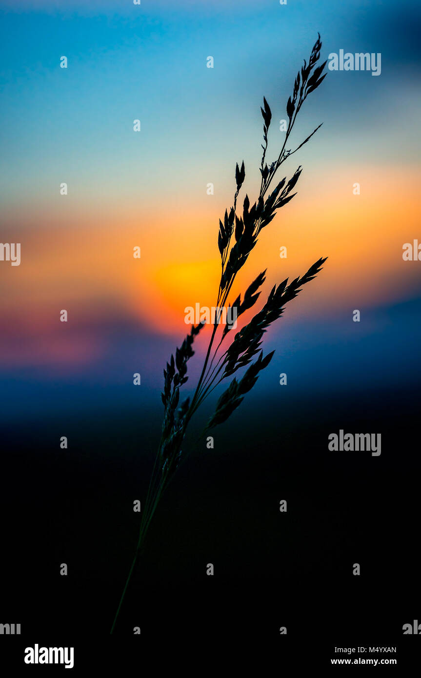 Blade of grass at sunset - Stock Image