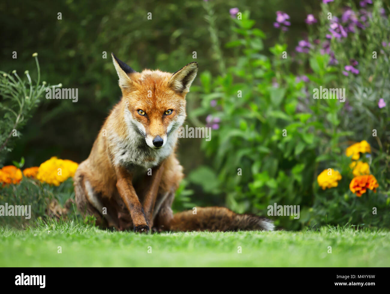 Close-up of a Red fox standing in the garden with flowers, summer in UK. - Stock Image