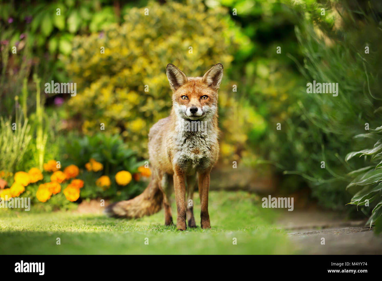 Red fox standing in the garden with flowers, summer in UK. - Stock Image