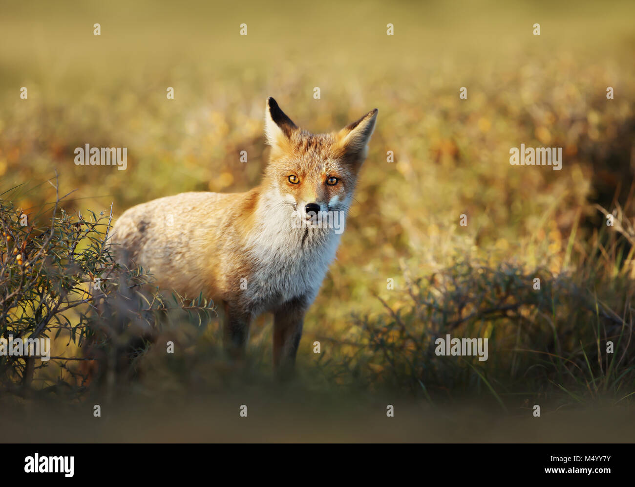 Close up of a young Red fox standing in the field of grass on a sunny evening. - Stock Image