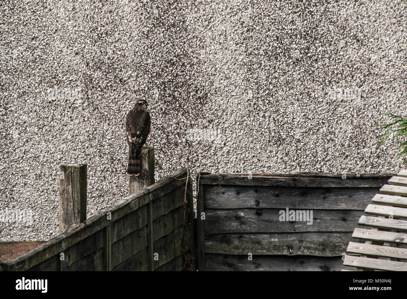 A sparrowhawk (Accipiter nisus) perched on a fence post of a garden fence in West Lothian - Stock Image