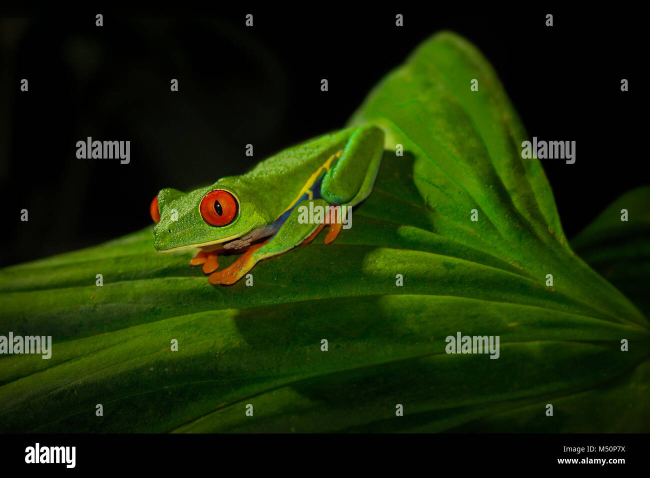 Red-Eyed Tree Frog before jumping - Stock Image