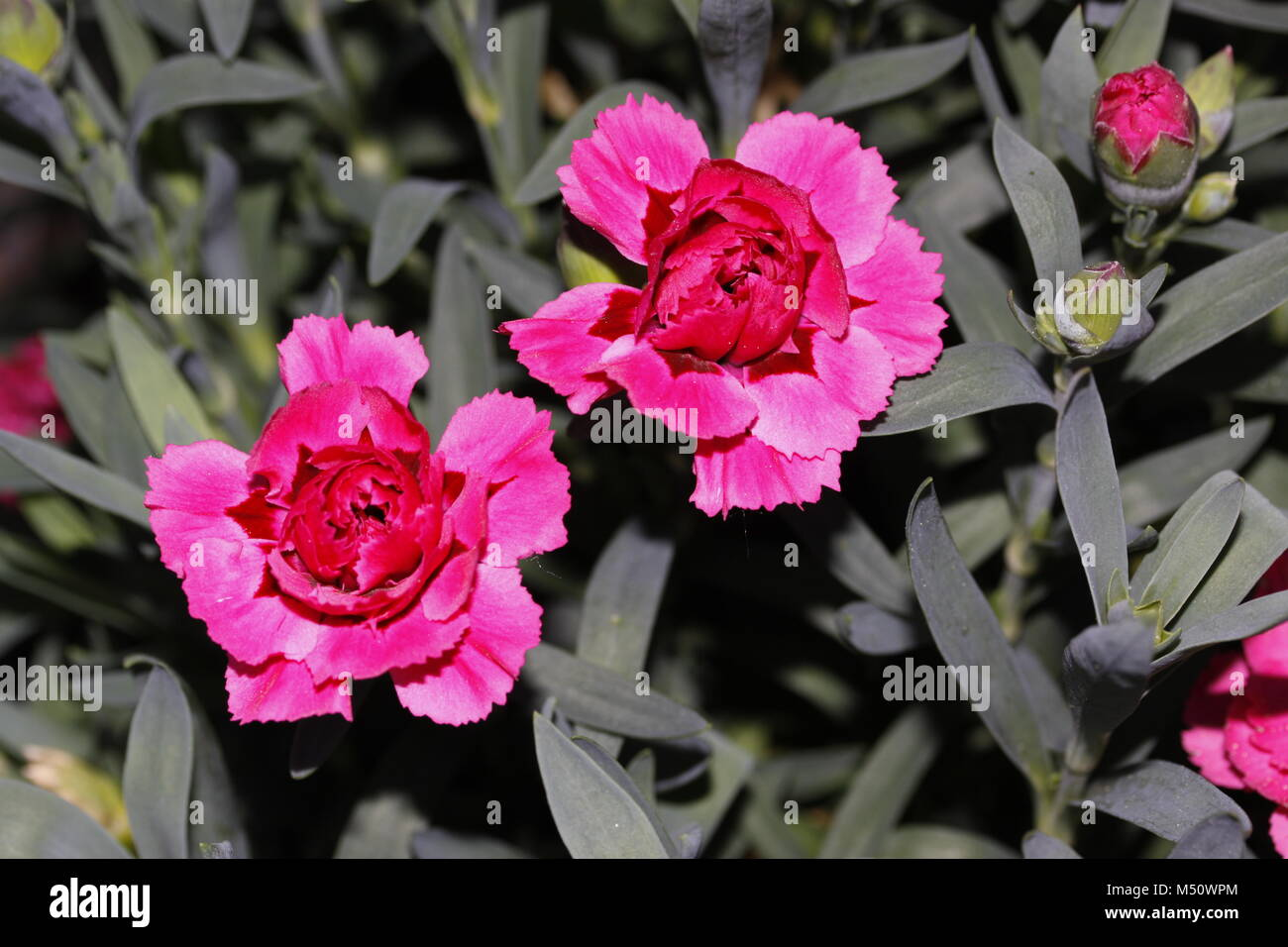 Carnations dianthus - Stock Image