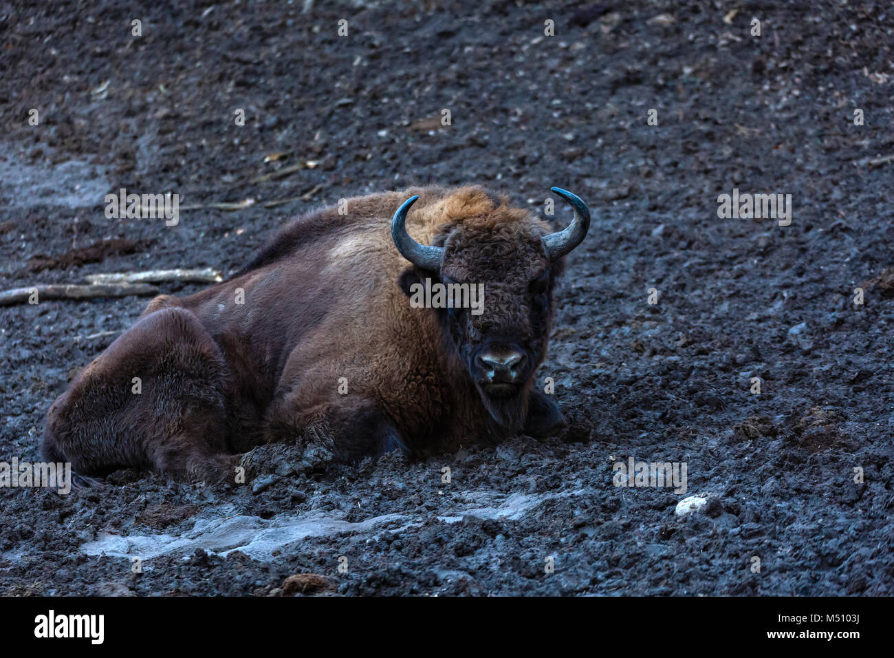 zimbru seated in a mud in a natural reserve - Stock Image