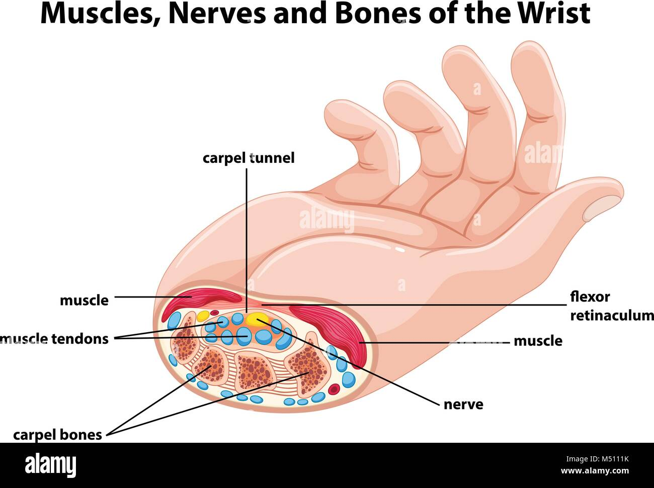 Strain Stock Vector Images Alamy And The Root Of Middle Finger On Index Bone See Diagram Showing Human Hand With Muscles Nerves Illustration
