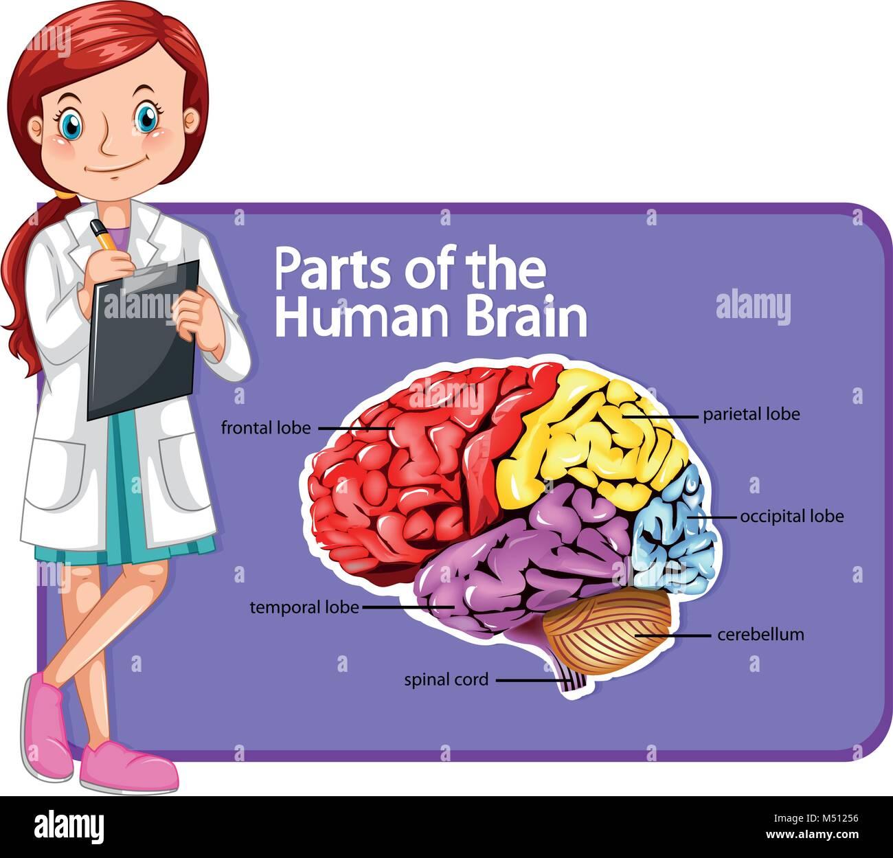 Image Human Brain Diagram Stock Photos Image Human Brain Diagram
