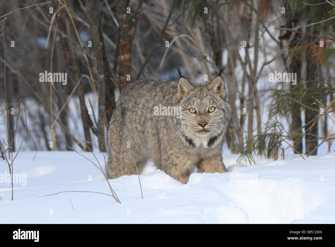 An adult Canada Lynx hunts for Snowshoe hares in Superior National Forest in northern Minnesota - Stock Image