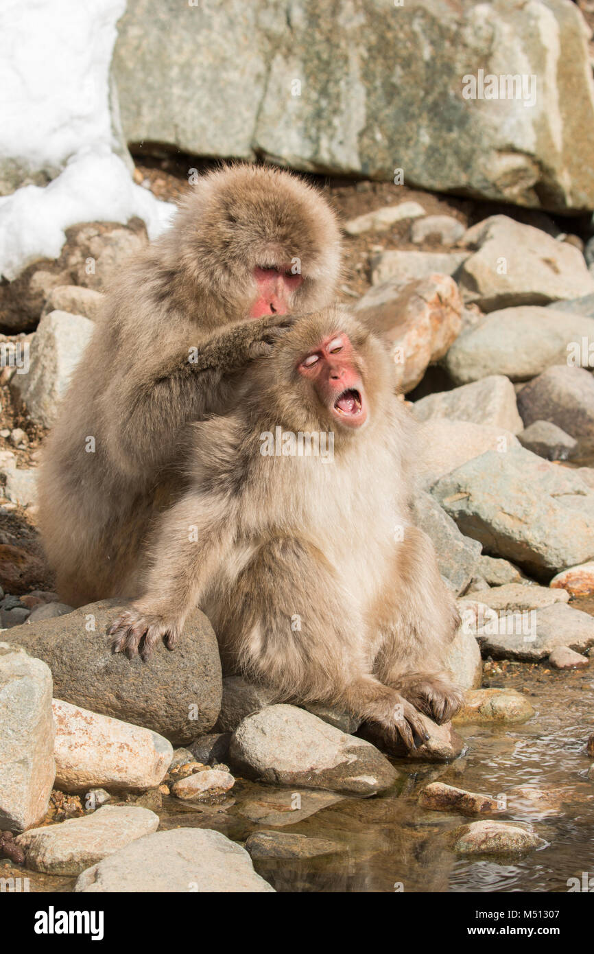 yawning snow monkey - Stock Image