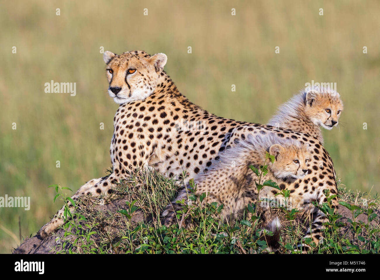 Cheetah cubs with their mother on the African savanna Stock Photo