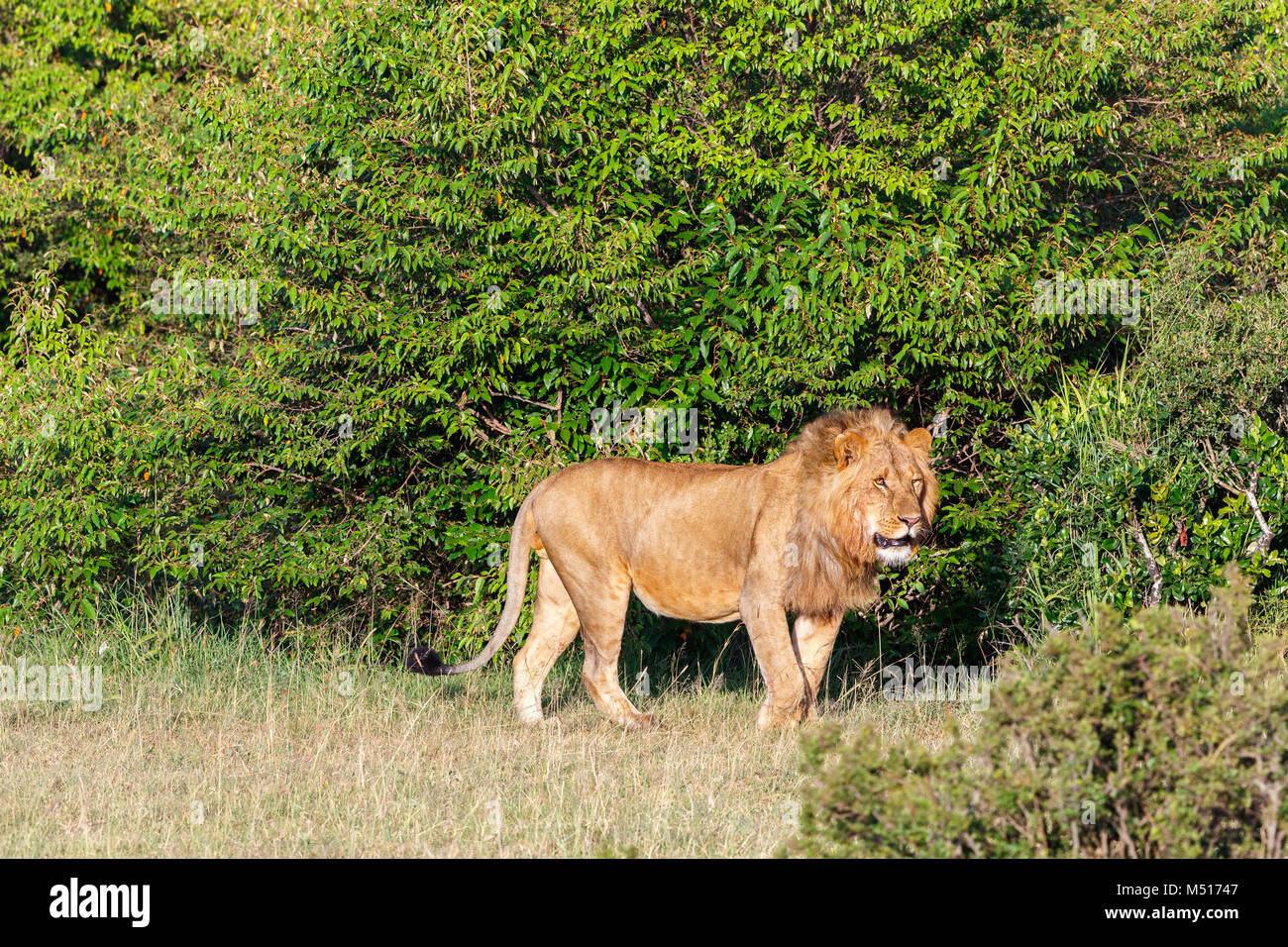 Shrubbery with a male lion - Stock Image