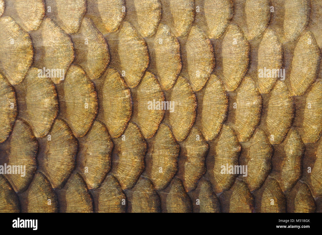 Fish scales. Gold carp scales close-up - Stock Image