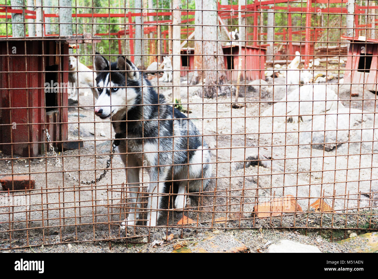 sad and tearful dog in captivity - Stock Image