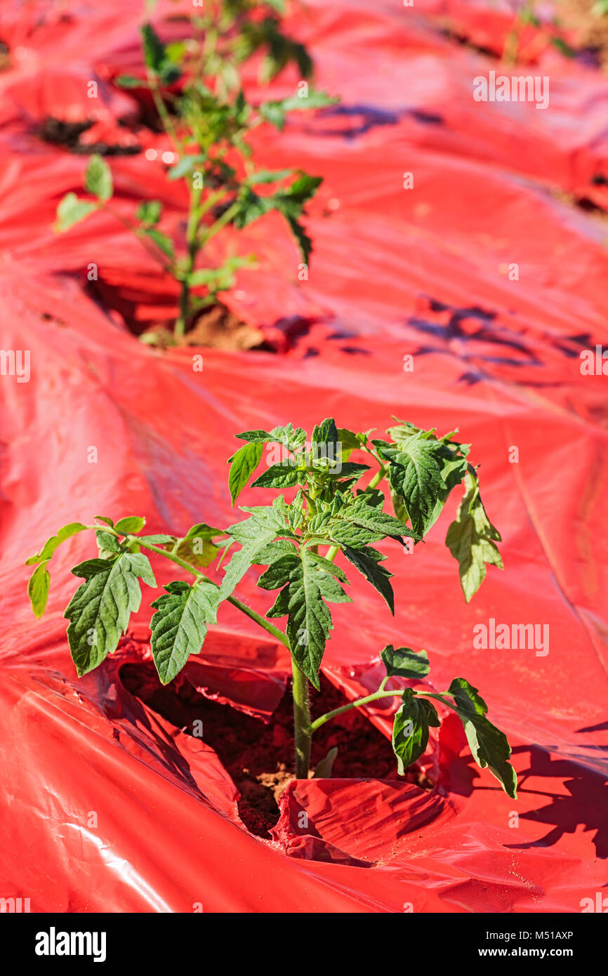 Young tomato plant newly transplanted into red plastic mulch. Stock Photo