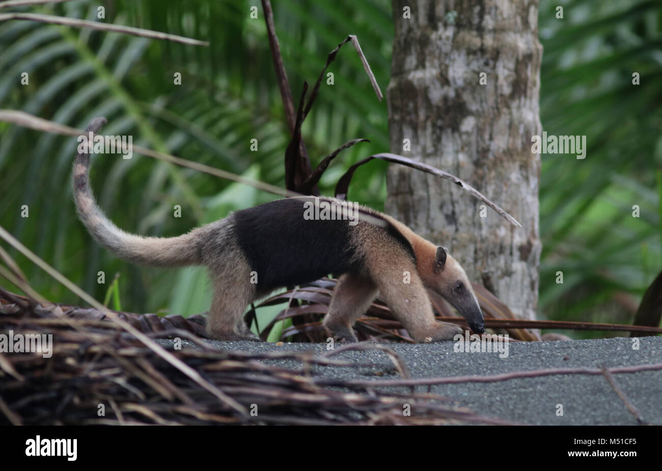Northern Tamandua anteater Corcovado National Park Osa Peninsula Stock Photo