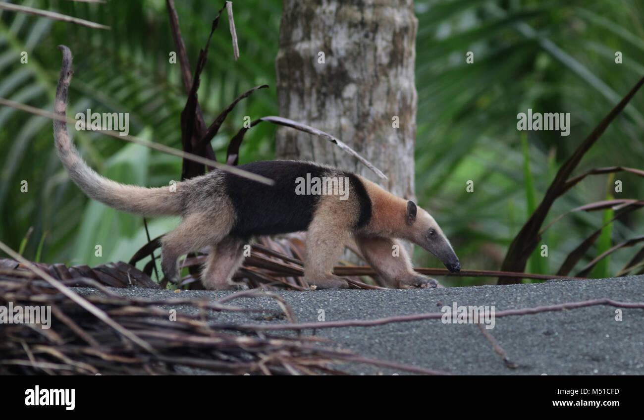 Northern Tamandua anteater Corcovado National Park Osa Peninsula Stock Photo