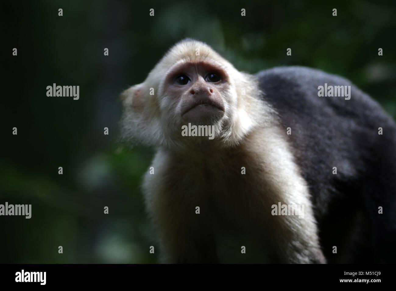 White faced monkey Corcovado National Park Osa Peninsula Stock Photo