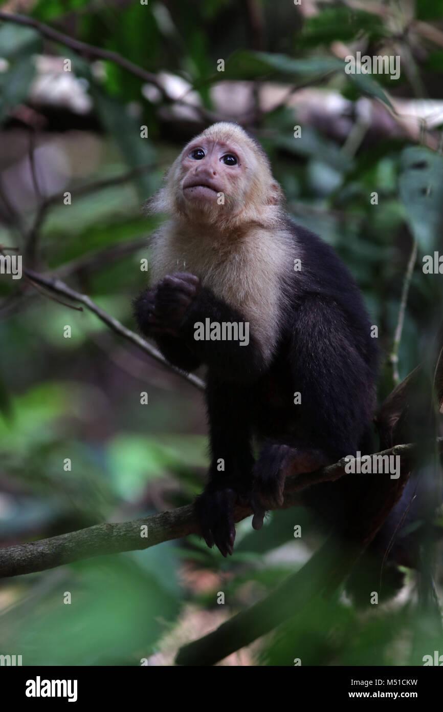 White Face Monkey Osa Peninsula Costa Rica Stock Photo