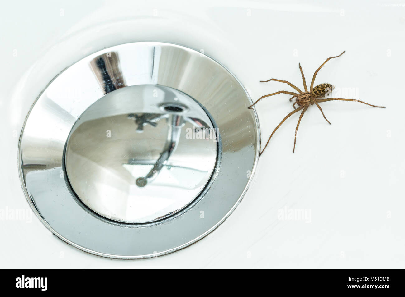 House Spider, Tegenaria gigantea/saeva, trapped in a wash-basin.  Monmouthshire, February. (The two species are - Stock Image