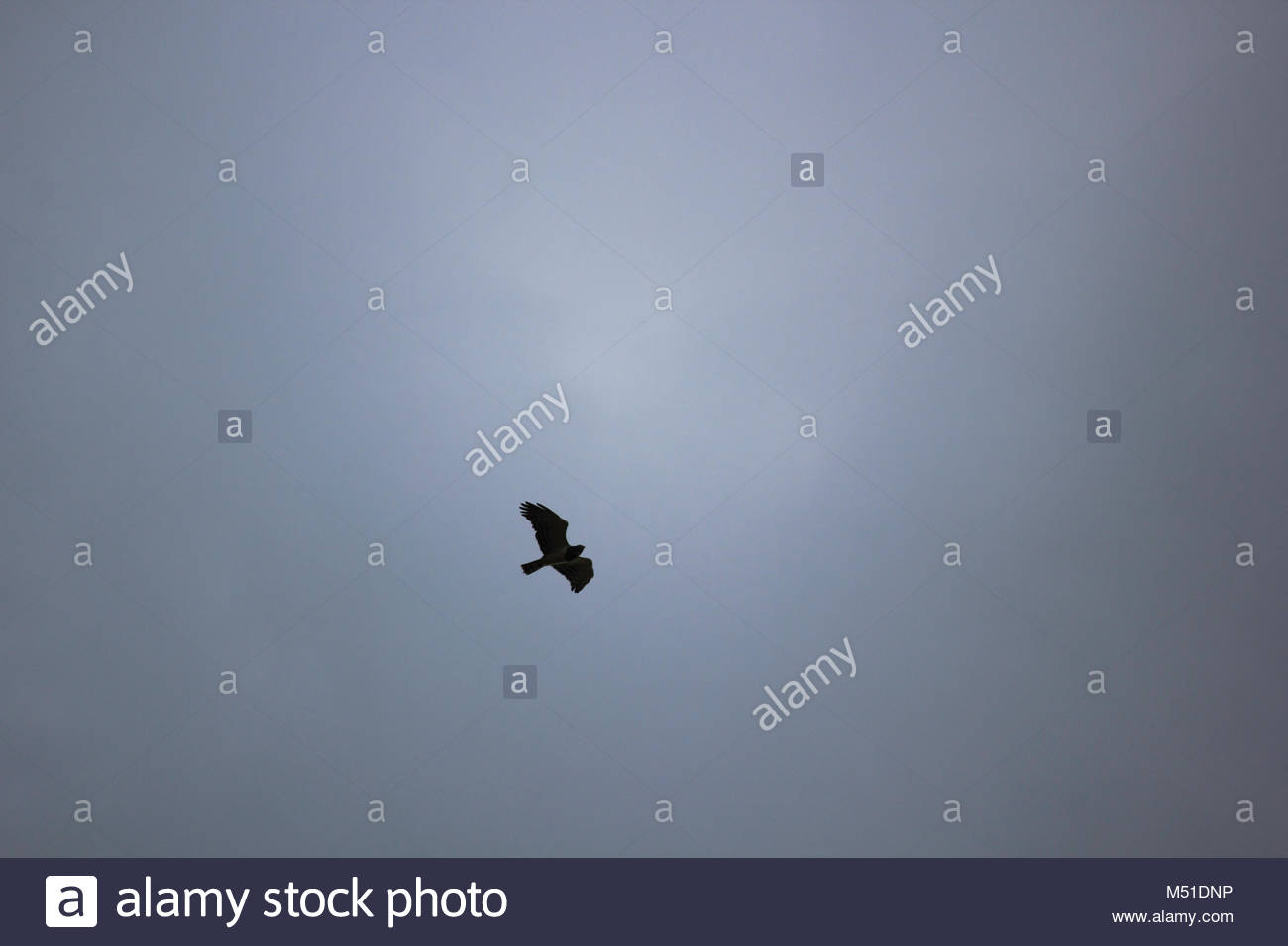 A Black-chested Snake-eagle (circaetus pectoralis) soars below a dark sky in search of prey looking for shelter, - Stock Image