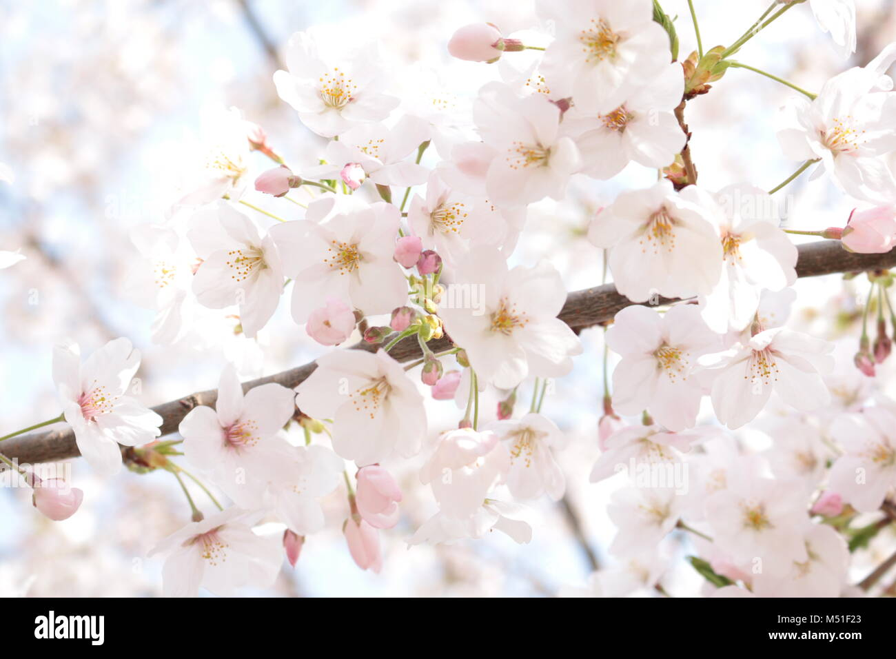 the dreamy sakura (cherry blossom) - Stock Image
