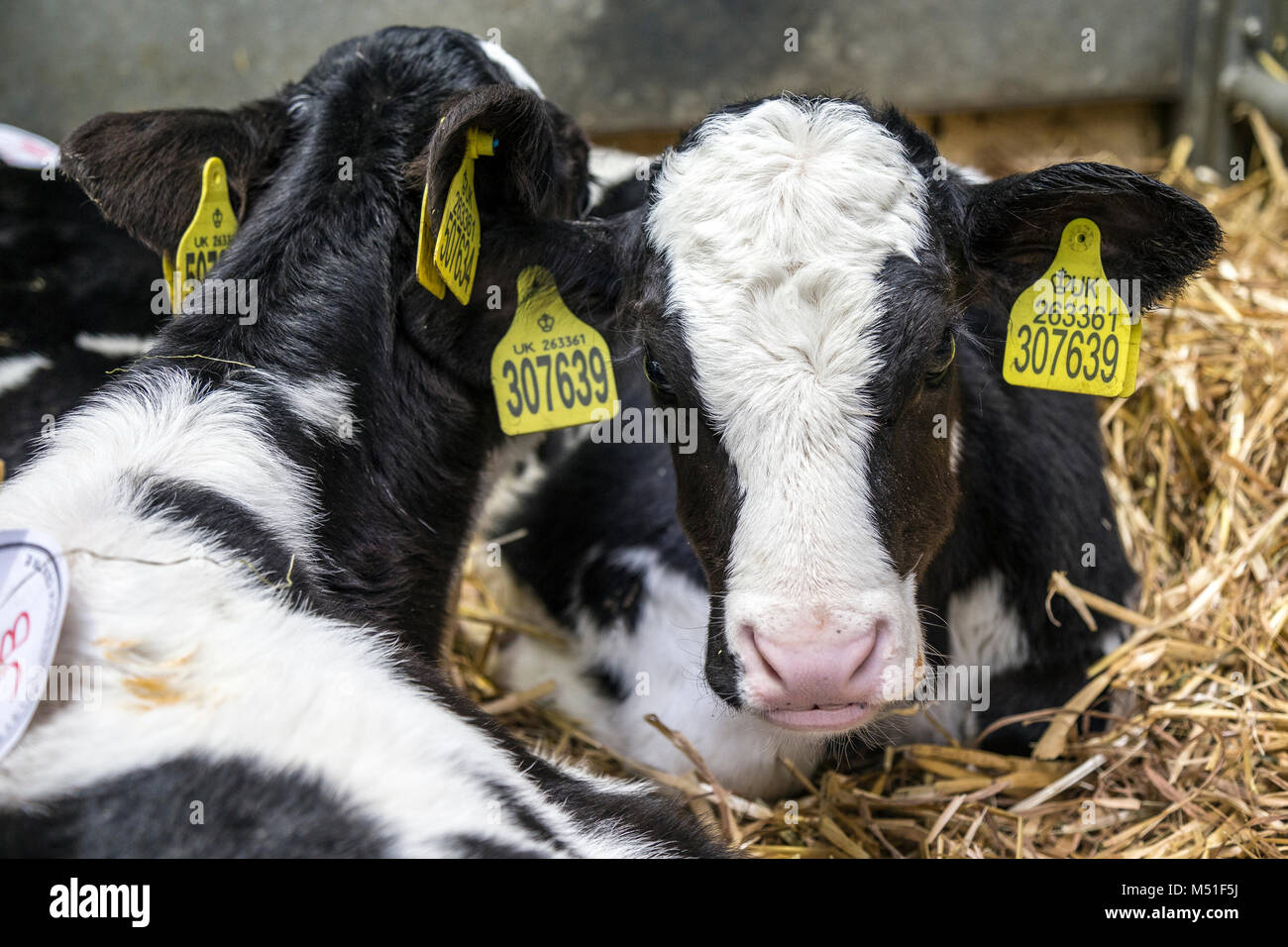 A large farm building,cattle market. hay, or straw or for housing livestock.Large ruminant animals with horns and - Stock Image