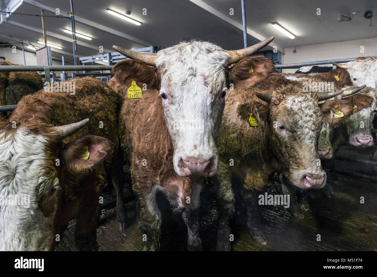 Cattle in large farm building,cattle market. hay, or straw or for housing livestock.Large ruminant animals with - Stock Image