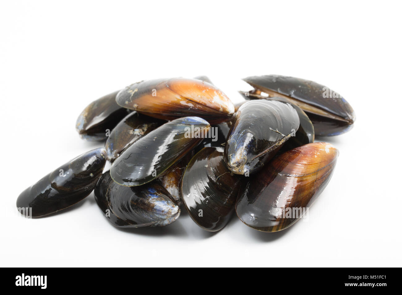 Live, rope-grown mussels, Mytilus edulis from a supermarket. The shells should close when tapped. England UK GB - Stock Image